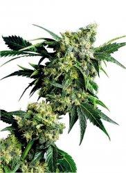 MR NICE G13 X HASH PLANT