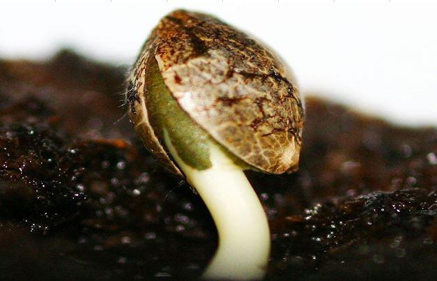 Germination des graines de cannabis